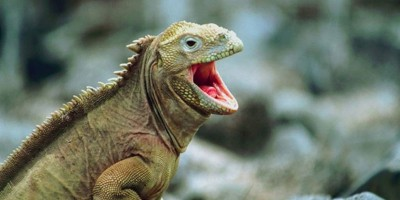 Varan sauvage avec la bouche ouverte
